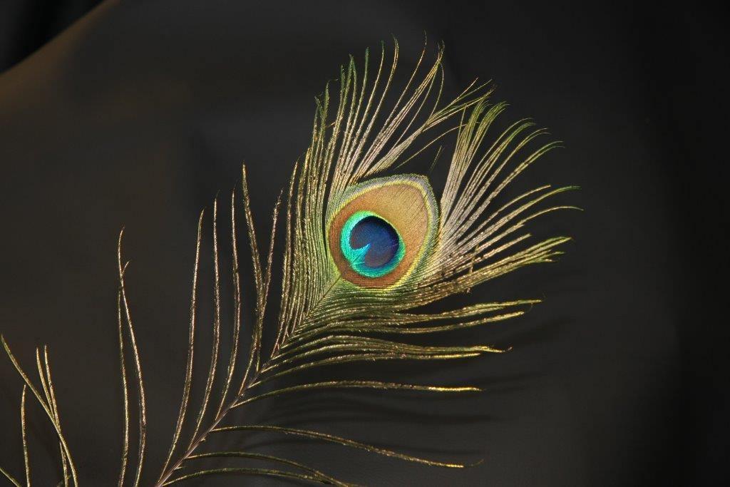 Pfauenfeder Federkiel